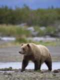 Brown Bear at Katmai National Park  Alaska