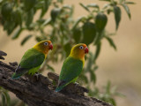Pair of Fischer&#39;s Lovebirds  Agapornis Fischeri  Perched in a Tree