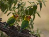 Pair of Fischer's Lovebirds  Agapornis Fischeri  Perched in a Tree