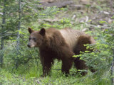 Cinnamon American Black Bear (Ursus Americanus) at Round Meadow