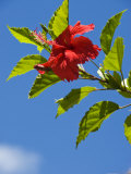 Red Hibiscus Bloom Against a Bright Blue Sky