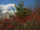 Evergreen Tree and Shrubs with Autumn Hues