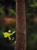 Tulip Poplar Tree Trunk with a Small Leafy Twig