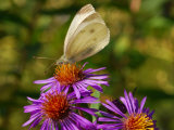 Cabbage Butterfly  Pieris Rapae  Visiting a Purple Flower