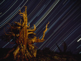 Time Exposure of Night Sky and Bristlecone Pine Tree