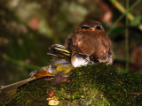 Northern Pygmy Owl  Glaucidium Gnoma  with a Bird it Killed