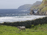 Rock Wall and a Scottish Blackface Sheep Along the Coast