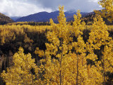 Aspen Trees in Autumn Hues Glow Golden in Denali National Park