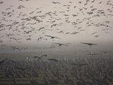 Sandhill Cranes Flying and Resting in Morning Fog