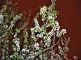 Tree in Full Bloom in San Francisco Park