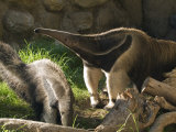 Captive Tropical Giant Anteaters (Myrmecophaga Tridactyla)