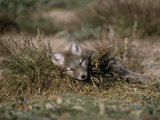 Arctic Fox Pup (Alopex Lagopus) Sleeps in Some Brush in the Tundra