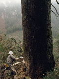 Logger with a Chainsaw Takes Down a Massive Old Tree