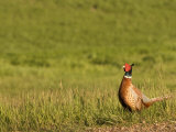 Pheasant Standing in the Grass Near Killdeer  North Dakota