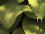 "Close Up Detail of Hosta ""Sun Power"" Leaves"