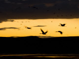 Flock of Sandhill Cranes (Grus Canadensis) Flying During Sunset