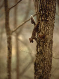 Eastern Gray Squirrel on a Tree Trunk  with a Nut in it's Mouth