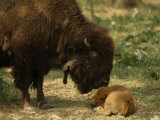 American Bison and Her Young Calf