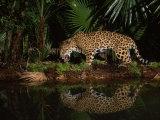 Jaguar Named Pepe Walks Near a Waterhole at the Belize Zoo
