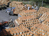 Workers Move Hundreds of Crates of Tomatoes from Field to Cannery