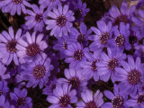 Cluster of Felicia Daisies  Felicia Heterophylla