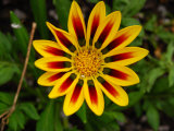 Yellow and Red Daisy-Like Flower