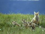 Red Fox Family  Idaho