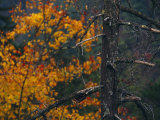 Dead Tree Trunk with Backdrop of Colorful Tree in Autumn Hues