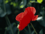 Delicate Red Poppy Flower