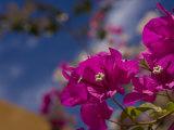 Close View of a Bouganvilla Blossom