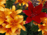 Red Lily Among a Profusion of Orange Lilies