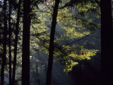 Morning Sun Peaks Through Hemlock Trees Along Paint Creek