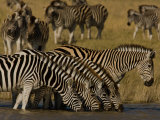 Herd of Burchell&#39;s Zebras Drinking at a Watering Hole
