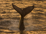 Whale Tail Splashes in the Sunset Light
