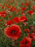 Mass of Red Poppies Grow in Luberon Valley of Provence  France