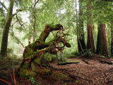 Giant Redwood Tree Root Ball  Looking Like a Leaping Horse