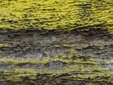 Yellow Sulfer Lichens on an Eroded Sandstone Surface