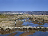 Shepherd Walks Amid Large Flock of Sheep Standing in and around River