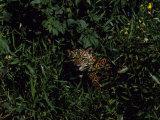 Jaguar Hides in the Bushes
