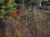 Bright Red Berries of the Serviceberry Bush Brighten a Swamp Habitat