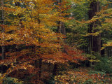 Scenic Woodland View of Beech Trees in Autum Hues and Hemlocks
