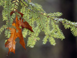 Detail of Oak Leaf Caught in Hemlock Branch in Paint Creek Area