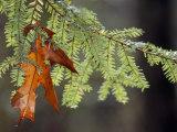 Detail of Oak Leaf Caught in Hemlock Branch in Paint Creek Area