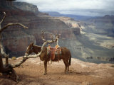 Saddled Mule and Scenic View of the Grand Canyon