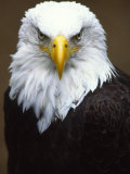 Profile Portrait of a Bald Eagle