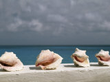 Conch Shells Line a Wall Near the Sea