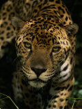 Jaguar (Panthera Onca) Inches Toward the Camera