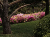 Compact Korean Rhododendrons in Bloom in a Japanese Garden