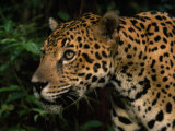 Close Up of a Jaguar&#39;s Head and Shoulders
