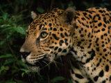 Close Up of a Jaguar's Head and Shoulders